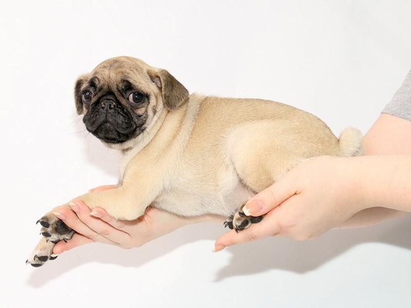 Pug-Female-Fawn-3122045-My Next Puppy