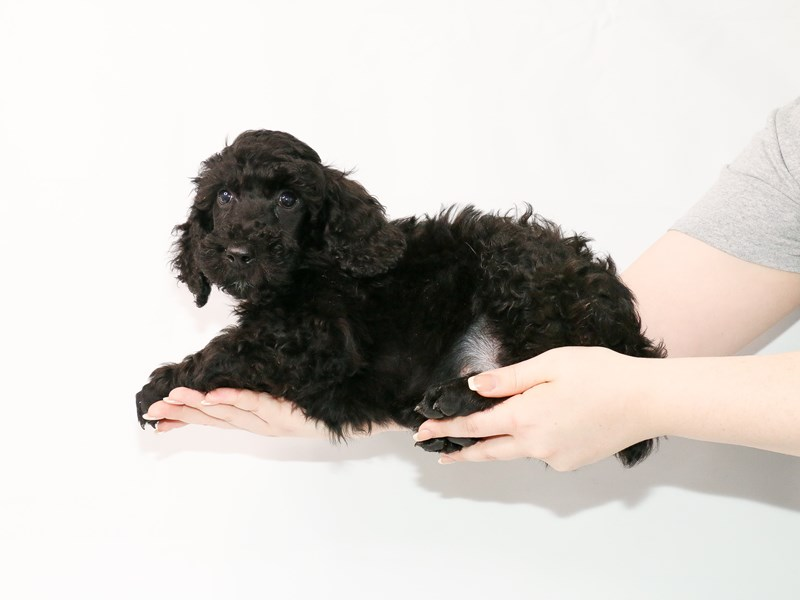 Poodle Standard-Male-Black-3122046-My Next Puppy