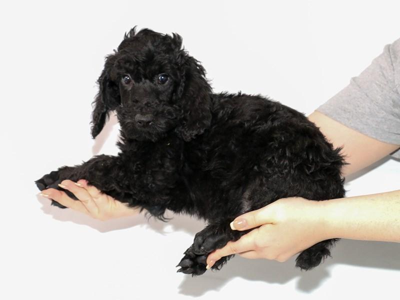 Poodle Standard-Male-Black-3122047-My Next Puppy