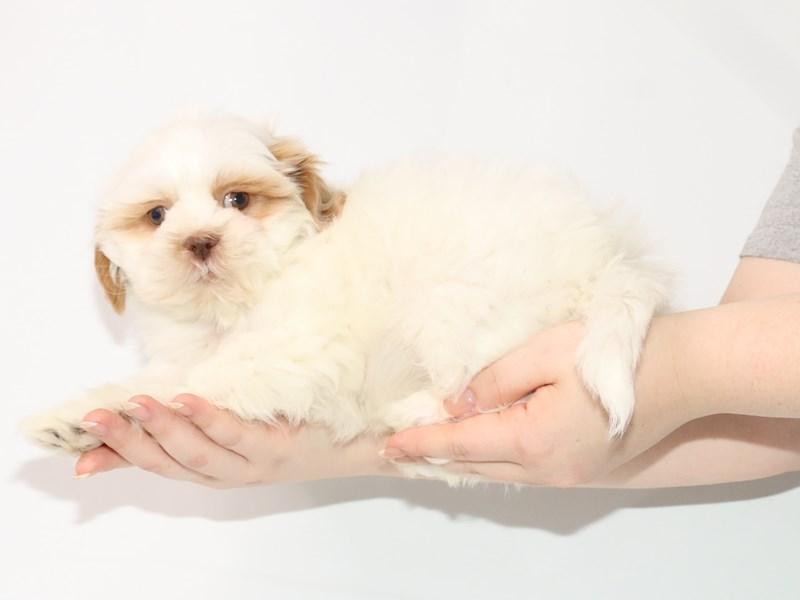 Shih Tzu-Male-White / Cream-3122051-My Next Puppy