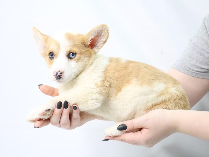 Pembroke Welsh Corgi-Female-Red Merle / White-3143661-My Next Puppy