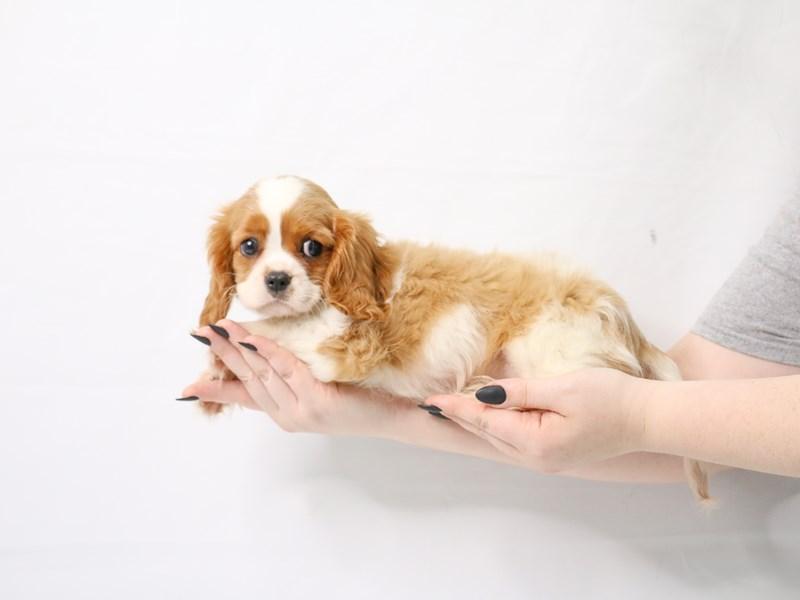 Cavalier King Charles Spaniel-Male-Blenheim-3143665-My Next Puppy