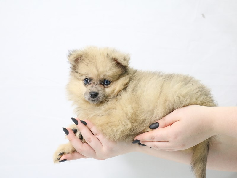 Pomeranian-Female-Red Sable-3143671-My Next Puppy