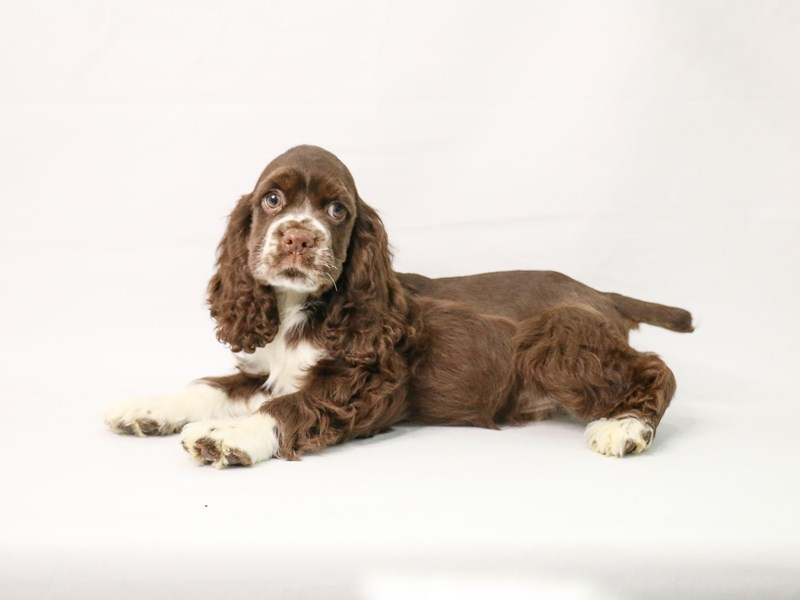 Cocker Spaniel-Male-Brown and White-3132552-My Next Puppy