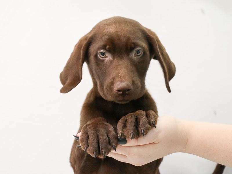 Labrador Retriever-Male-Chocolate-3153117-My Next Puppy