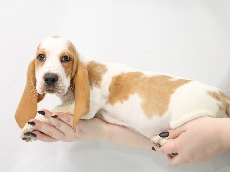 Basset Hound-Female-Lemon and White-3153420-My Next Puppy