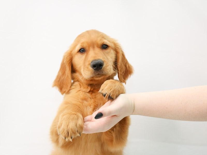 Golden Retriever-Male-Golden-3154650-My Next Puppy