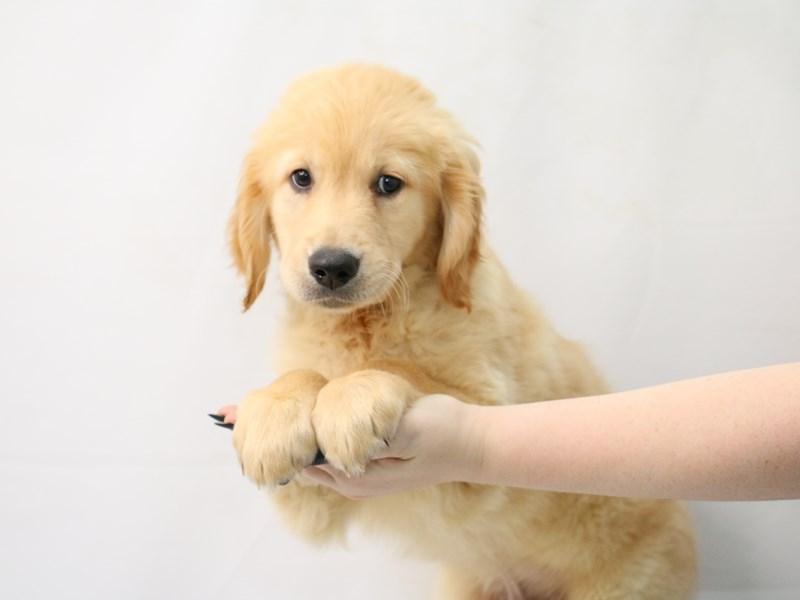 Golden Retriever-Male-Golden-3154722-My Next Puppy