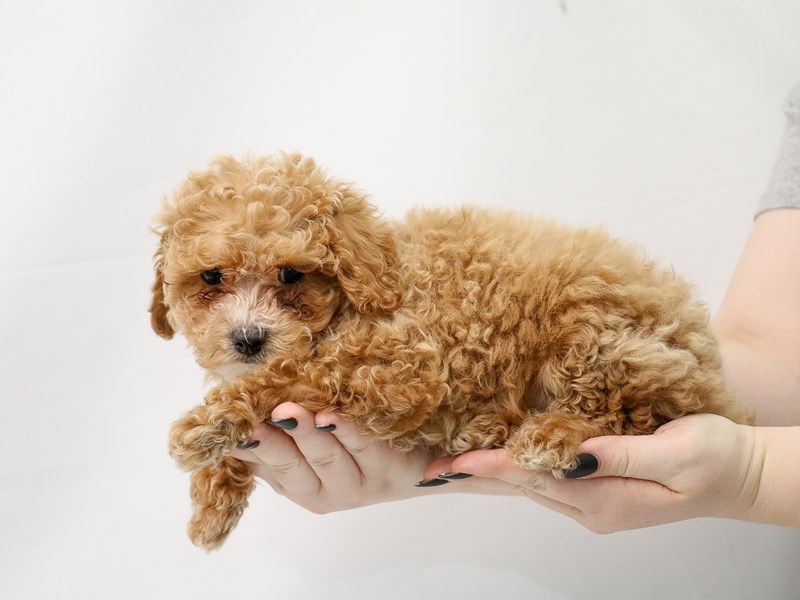 Cavapoo-Male-Red-3154893-My Next Puppy