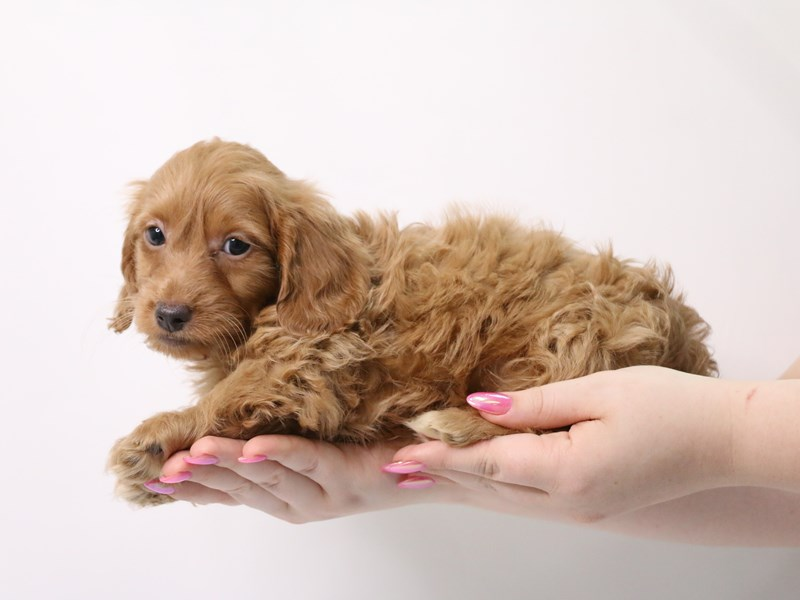 Doxie-Poo-Male-Apricot-3162778-My Next Puppy