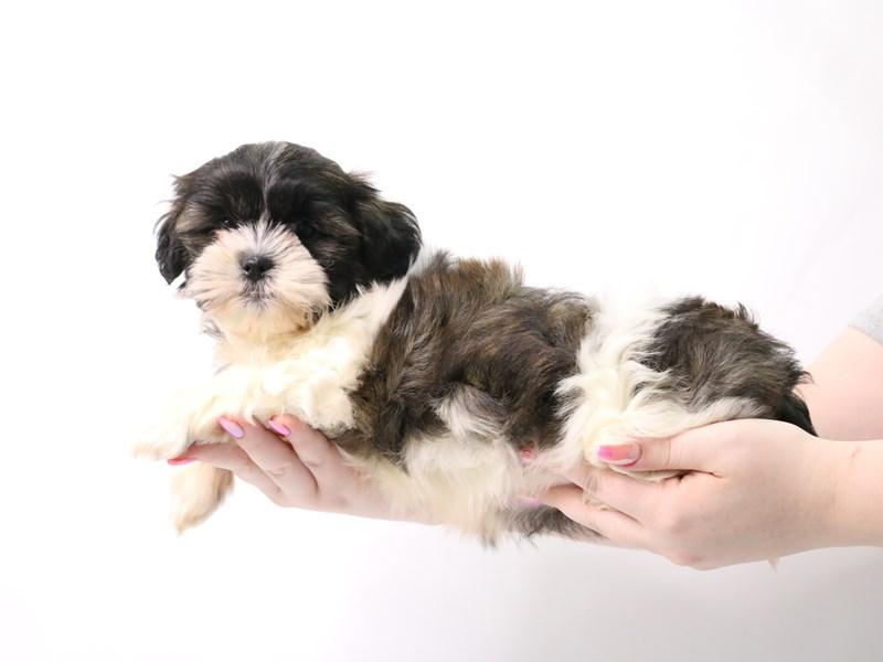 Teddy Bear-Female-Brown / White-3162782-My Next Puppy