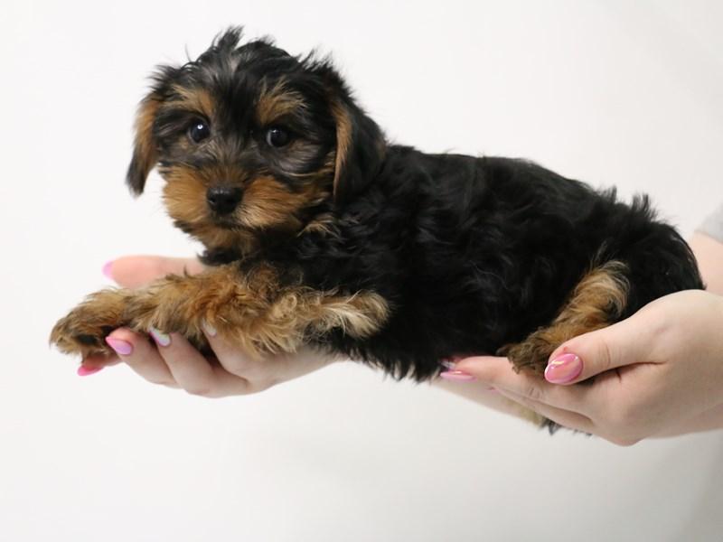 Yorkshire Terrier-Male-Black / Tan-3162788-My Next Puppy