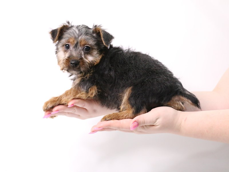 Silky Terrier-Male-Black / Tan-3162794-My Next Puppy