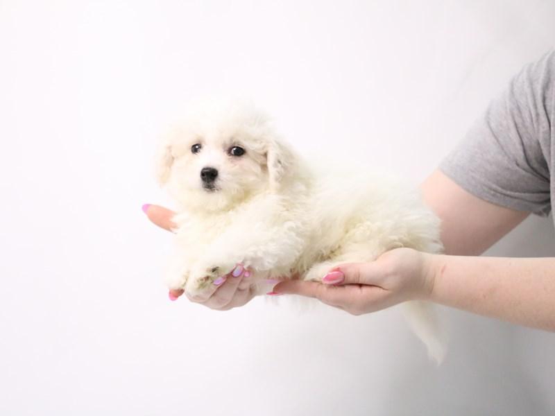 Mini Goldendoodle F2B-Female-Cream-3162358-My Next Puppy