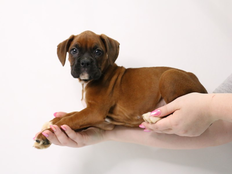 Boxer-Female-Fawn-3162362-My Next Puppy