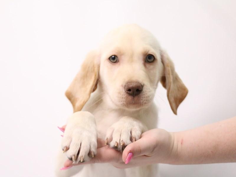 Labrador Retriever-Female-Yellow-3162364-My Next Puppy