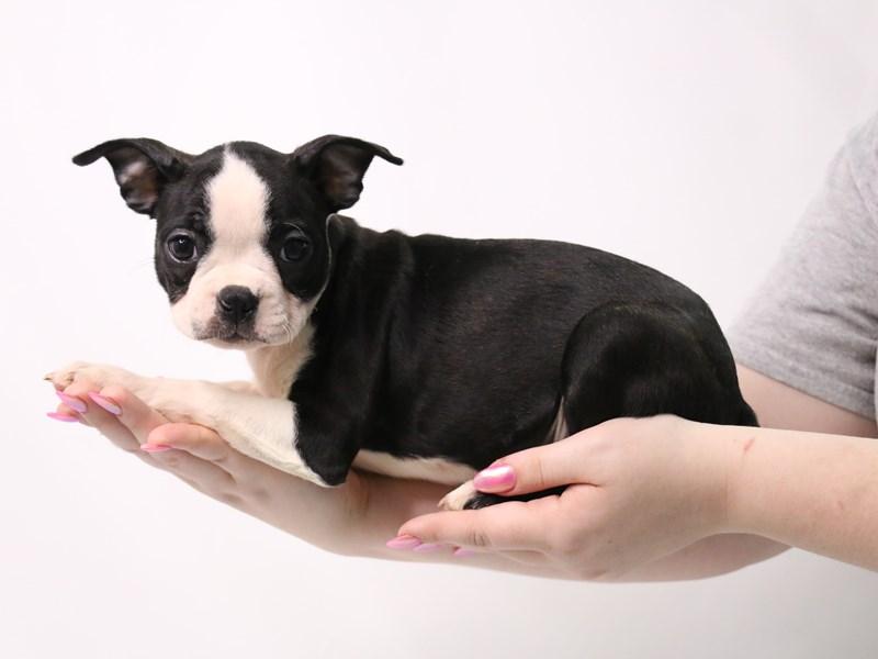 Boston Terrier – Betty