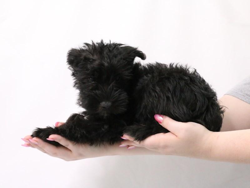 Miniature Schnauzer-Male-Black-3173945-My Next Puppy