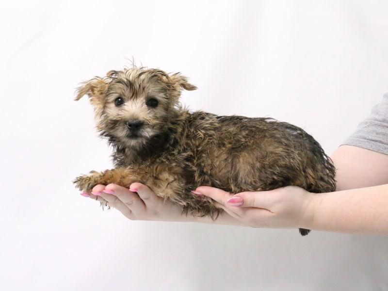 Cairn Terrier-Male-Wheaten-3173948-My Next Puppy