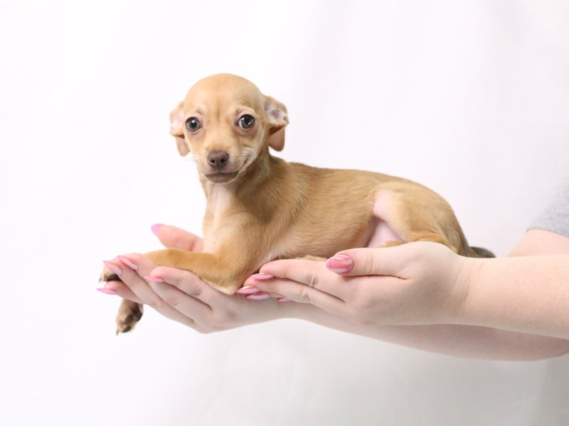 Chihuahua-Female-Red Fawn-3173949-My Next Puppy