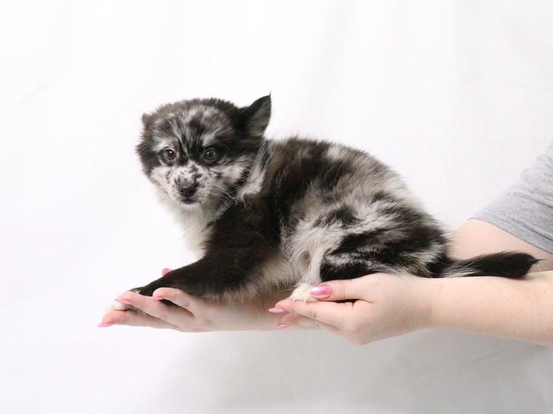 Pomsky-Male-Black / White-3173950-My Next Puppy