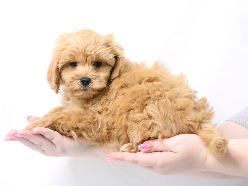 Miniature Labradoodle-Female-Red-3173997-My Next Puppy