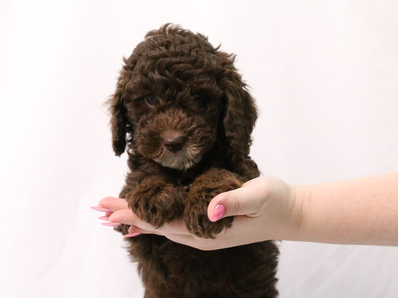 Miniature Poodle-Male-Chocolate-3174083-My Next Puppy