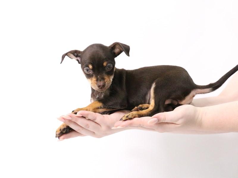 Chiweenie-Male-Black / Tan-3182171-My Next Puppy