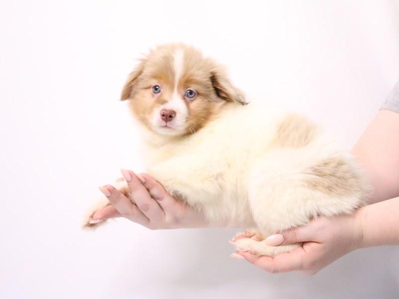 Miniature Australian Shepherd-Male-Red Merle-3182216-My Next Puppy