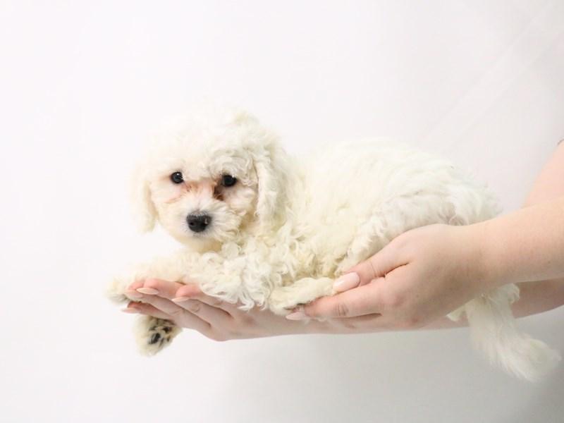 Bichon Frise-Male-White-3181888-My Next Puppy