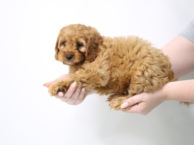 Cavapoo-Male-Apricot-3190541-My Next Puppy