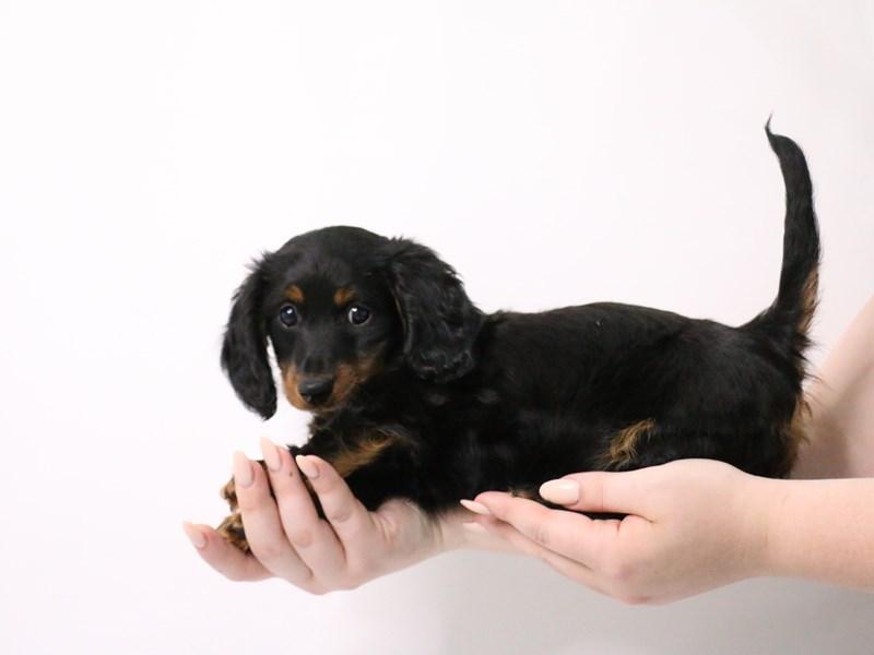 Miniature Dachshund-Female-Black / Tan-3190544-My Next Puppy