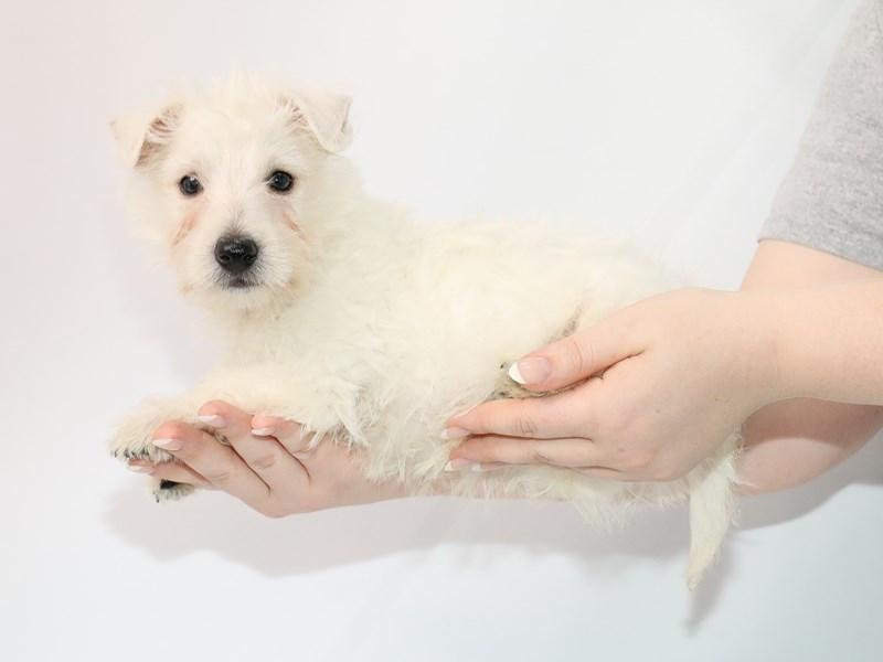 West Highland White Terrier-Male-White-3089255-My Next Puppy