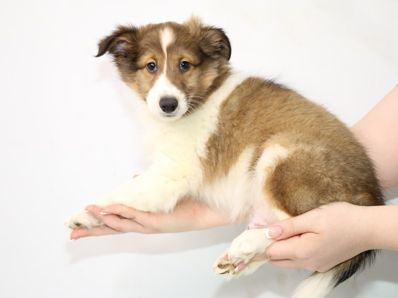 Shetland Sheepdog-Male-Sable and White-3111620-My Next Puppy
