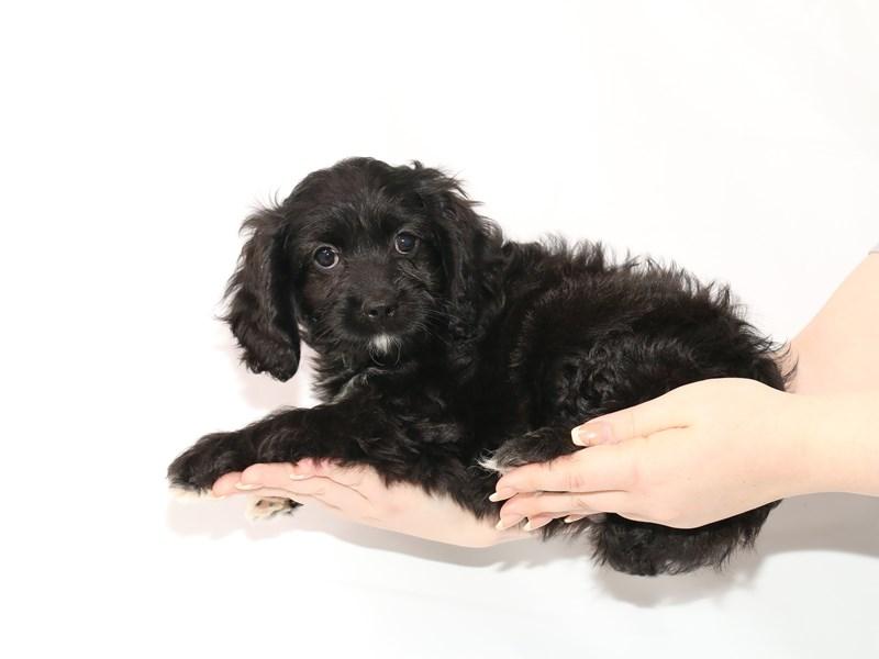 Cockapoo-Male-Black-3121211-My Next Puppy