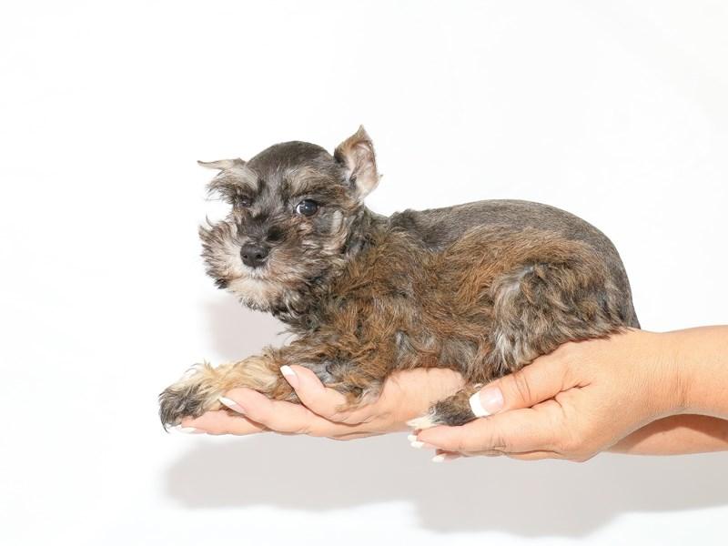 Miniature Schnauzer-Female-Liver Pepper-3132364-My Next Puppy