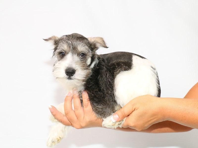 Miniature Schnauzer-Female-Black-3132673-My Next Puppy