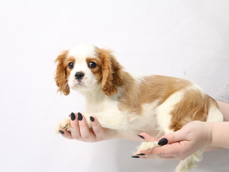 Cavalier King Charles Spaniel-Male-Blenheim-3143666-My Next Puppy