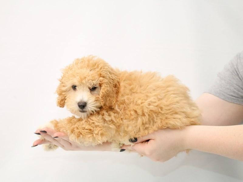 Miniature Poodle-Male-Apricot-3153151-My Next Puppy