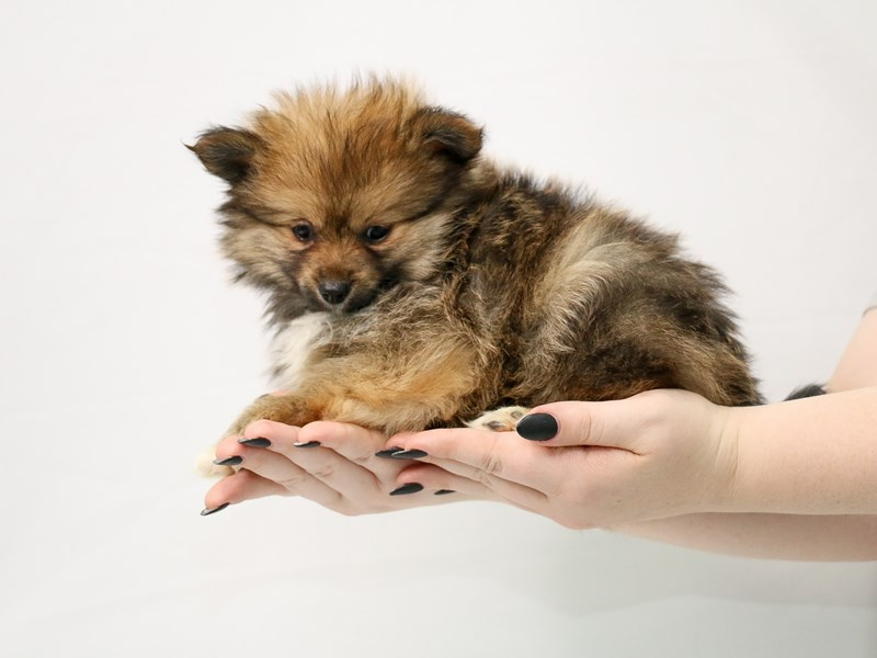 Pomeranian-Male-Red Sable-3153520-My Next Puppy