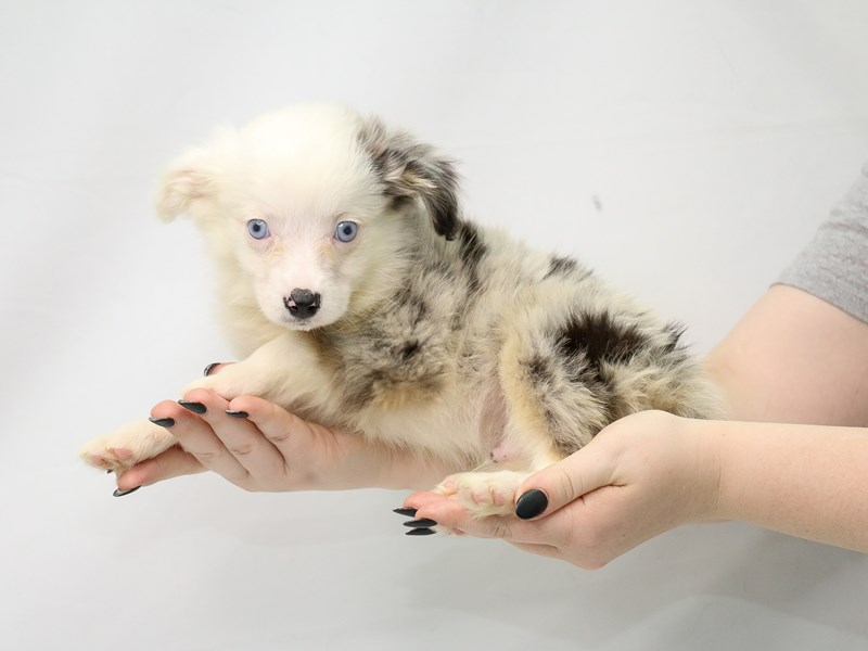 Toy Australian Shepherd-Male-Blue Merle-3154655-My Next Puppy
