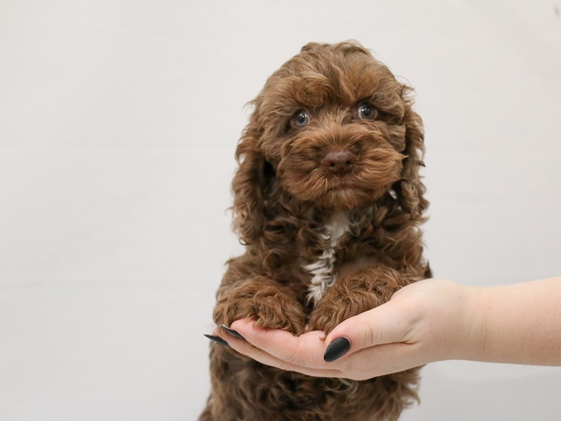 Cock A Poo-Male-Chocolate Merle-3154717-My Next Puppy