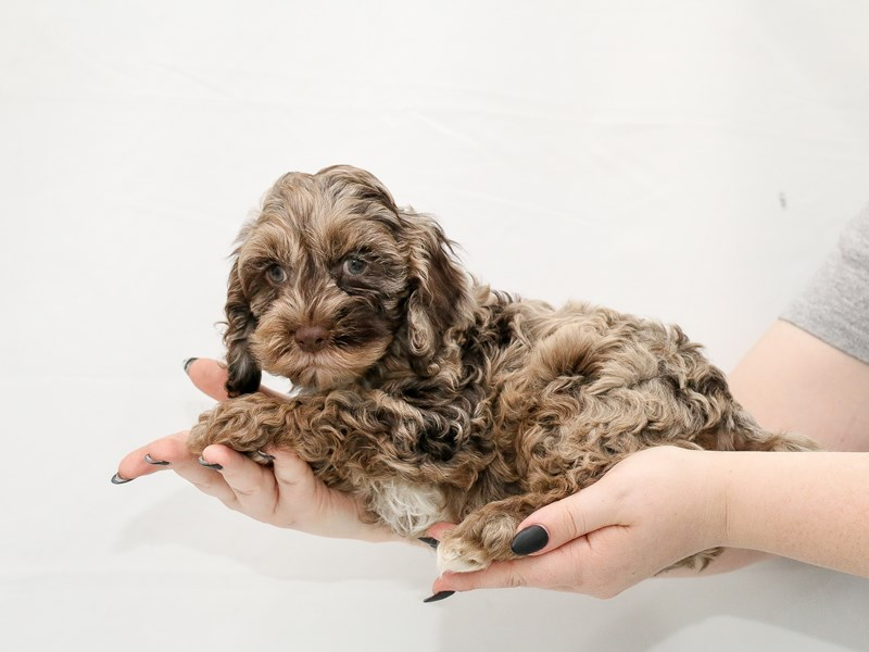 Cock A Poo-Male-Chocolate Merle-3154720-My Next Puppy