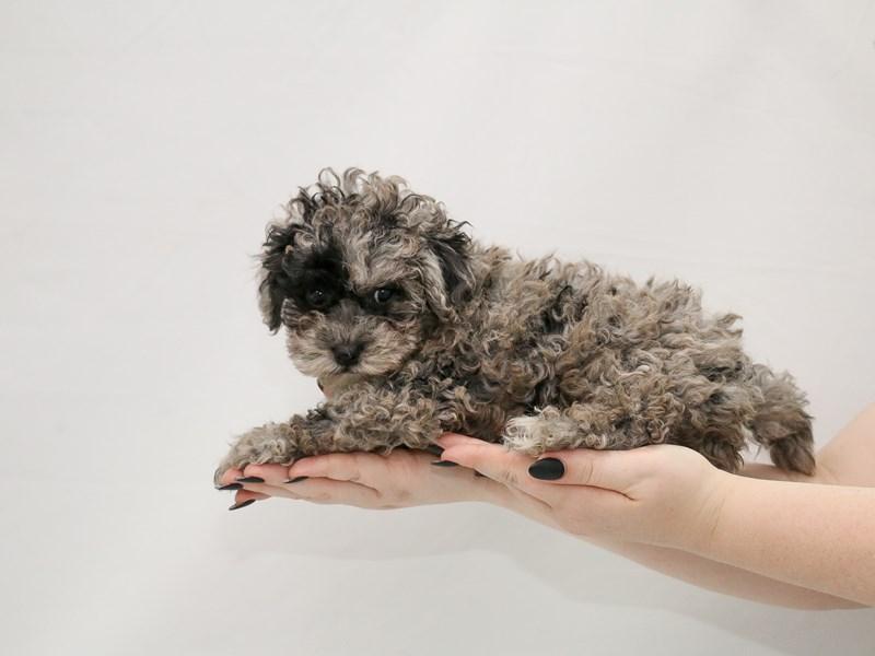 Cavapoo-Male-Blue Merle-3154889-My Next Puppy