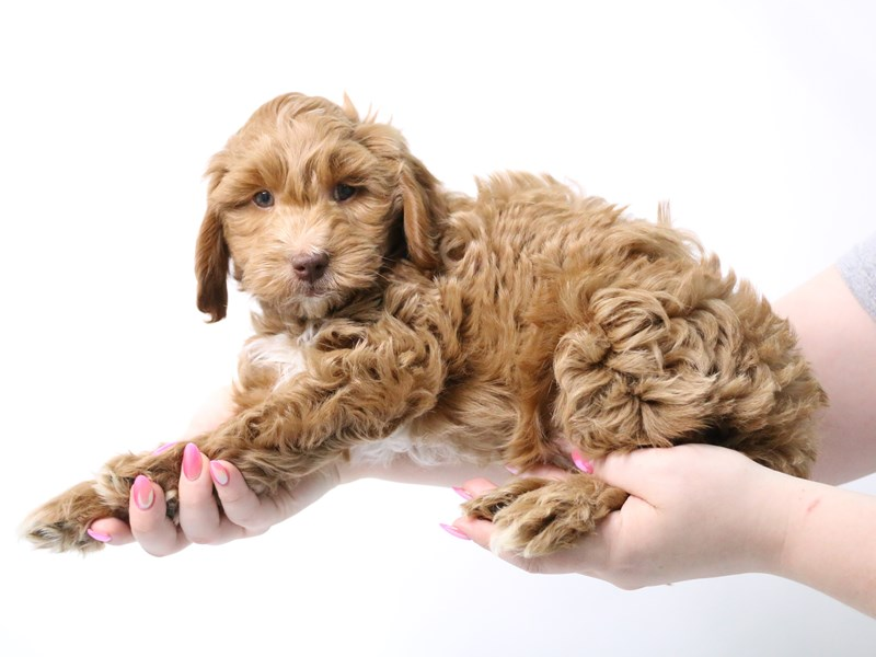 Mini Goldendoodle F2B-Male-Red-3162357-My Next Puppy