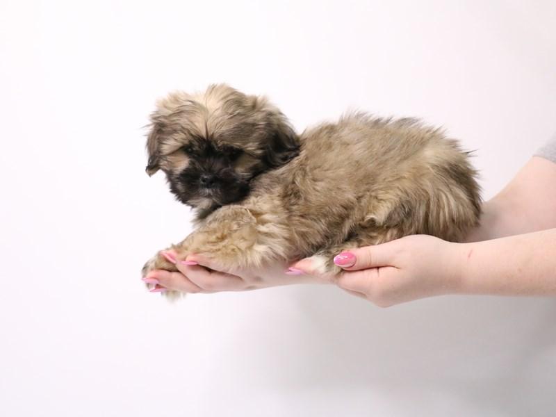 Teddy Bear-Male-Brindle-3162361-My Next Puppy