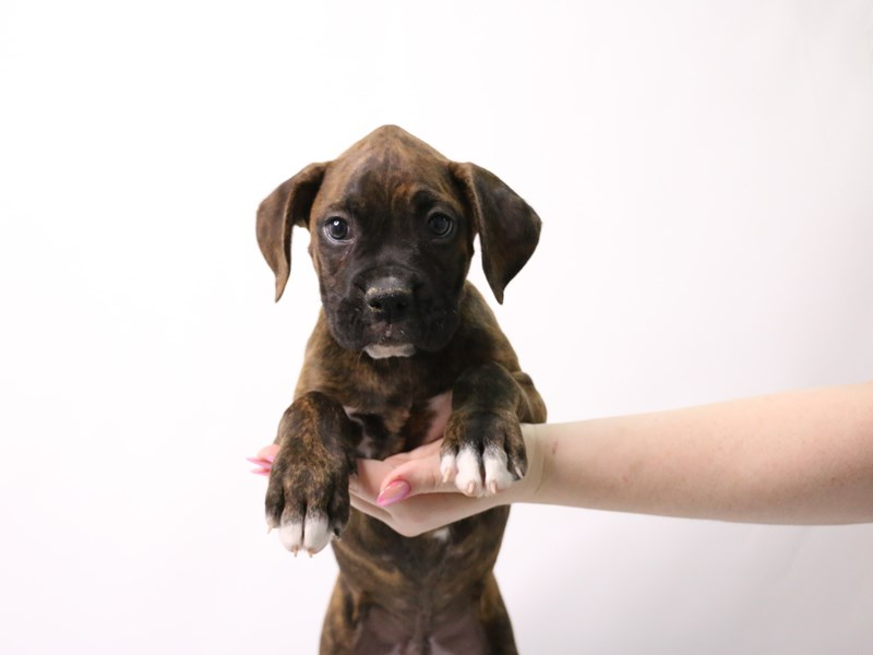 Boxer-Male-Brindle-3162400-My Next Puppy