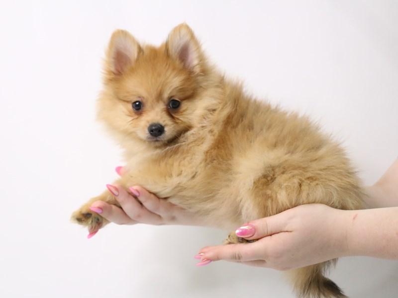 Pomeranian-Male-Orange-3162836-My Next Puppy