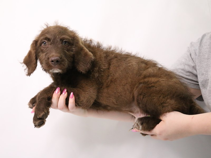 Labradoodle-Male-Brown-3162989-My Next Puppy