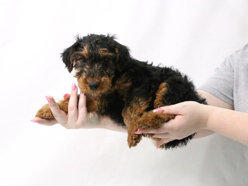 Welsh Terrier-Male-Black / Tan-3173952-My Next Puppy